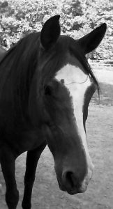 black and white image of horse